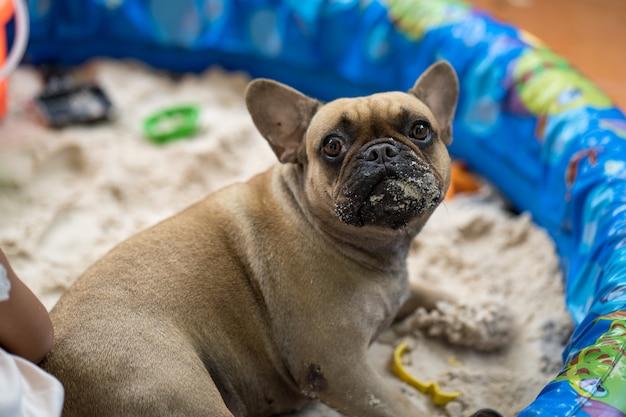 Bulldog francés de aspecto lindo