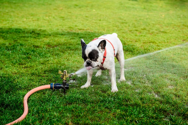 Bulldog francés bebiendo agua de manguera en el parque
