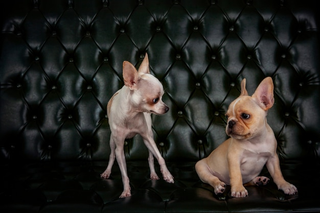 Bulldog francés y cachorro zhiwawa en la sala de estar de su casa