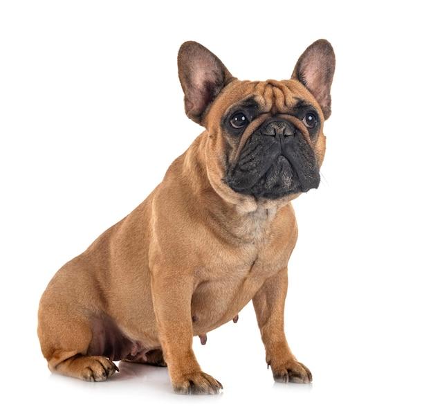 Bulldog francés delante de un fondo blanco