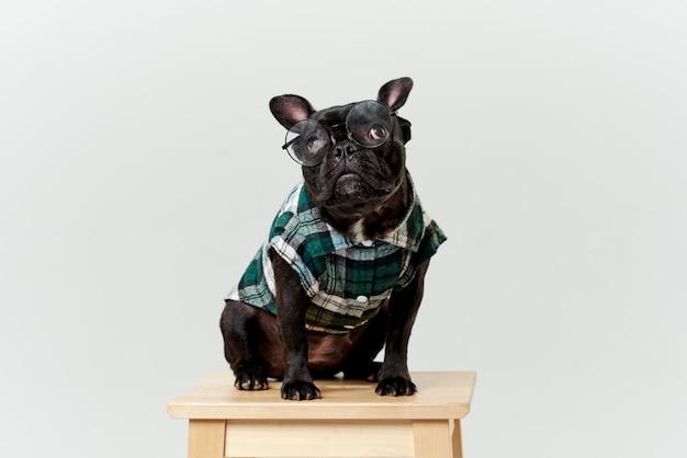 Bulldog francés con gafas y camisa, muy inteligente e inteligente