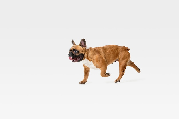 Bulldog francés joven está planteando. lindo perrito o mascota de braun blanco está jugando, corriendo y luciendo feliz aislado en la pared blanca. concepto de movimiento, movimiento, acción. espacio negativo.