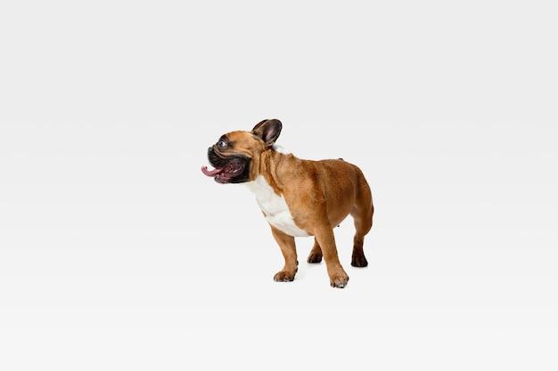 Bulldog francés joven está planteando