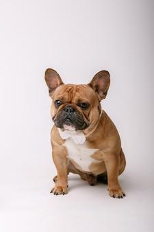Bulldog francés sentado aislado sobre fondo blanco.