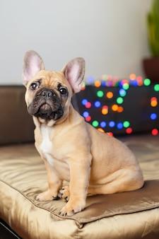 Bulldog francés sentado en el sofá mirando a la cámara. curioso perro curioso rodeado de borrosas luces de navidad