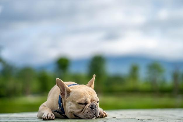 Bulldog francés soñoliento