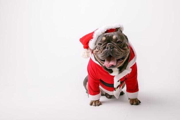 Bulldog francés en traje de santa aislado sobre fondo blanco.