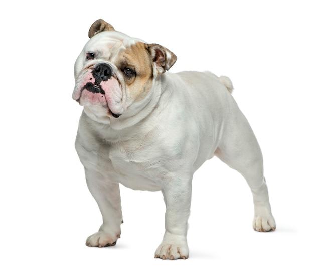 Bulldog inglés delante de la pared blanca