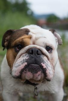 Bulldog en lugano suiza europa