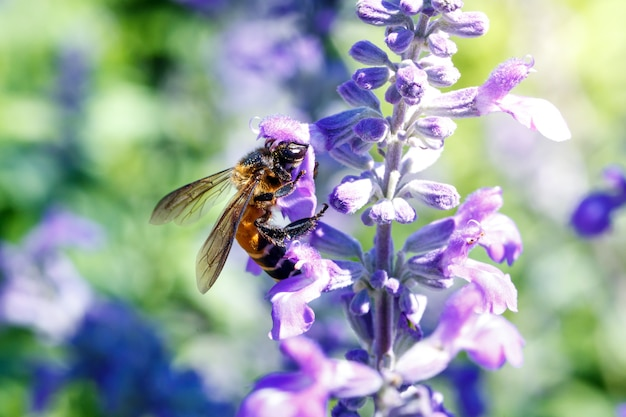 Bumble honey bee zumbando en la flor de lavanda
