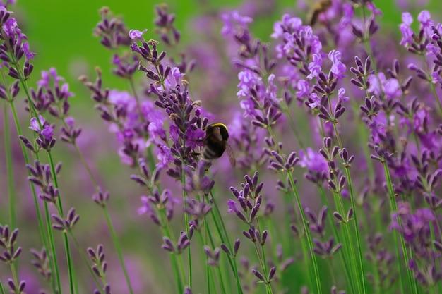 Bumblebee bombus sobre lavanda lavandula - macro shot