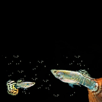 Burbujas y peces betta con espacio de copia
