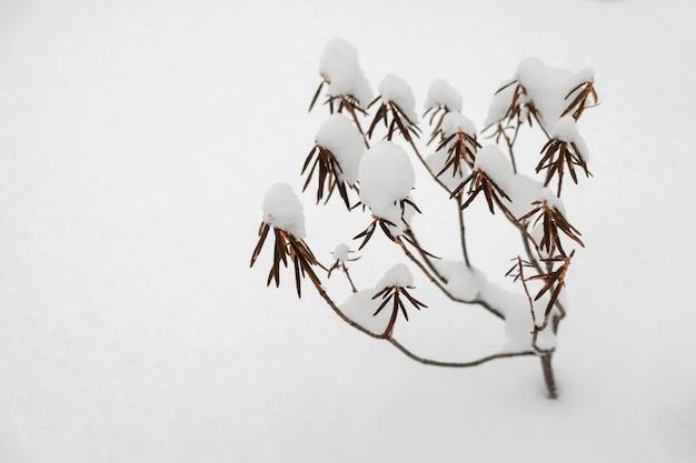 Bush de té labrador en la nieve.