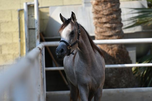 El caballo árabe es una raza de caballos que se originó en la península arábiga.