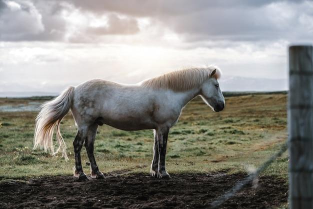 Caballo islandés en la naturaleza escénica de islandia.
