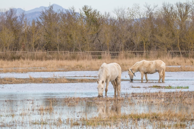 Caballos de la camarga en el parque natural de las marismas de ampurdãƒâƒã'â¡n, girona, cataluña, españa