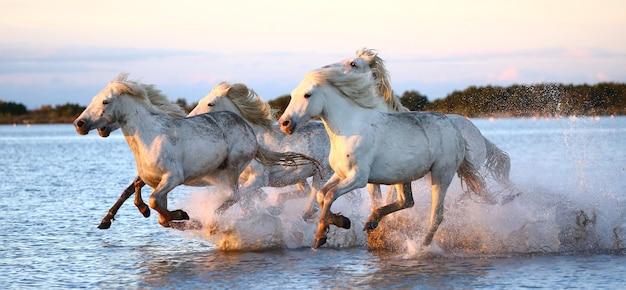 Los caballos de camargue corren maravillosamente a lo largo del agua en la laguna