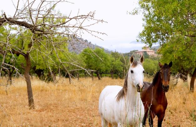 Caballos marrones y blancos en el campo mediterráneo de mallorca