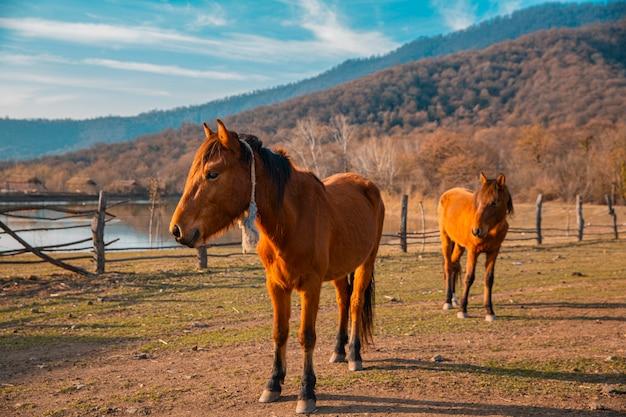 Caballos marrones en las tierras de cultivo a través de las montañas.