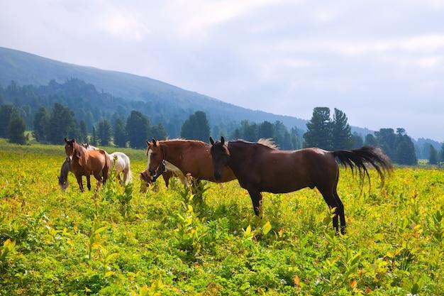 Caballos en las montañas prado