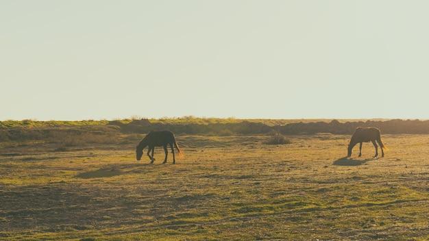 Los caballos pastan en el campo