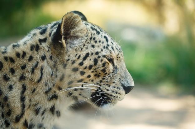 Cabeza de animal leopardo de cerca