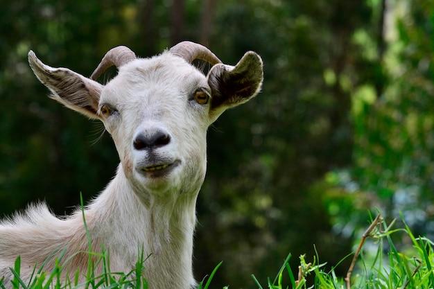 Cabeza de cabra naturaleza animal colorido