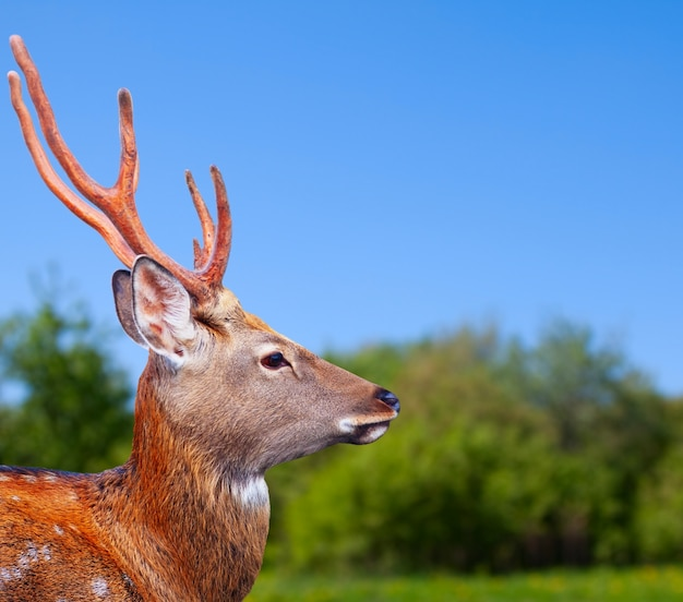 Cabeza del ciervo sika