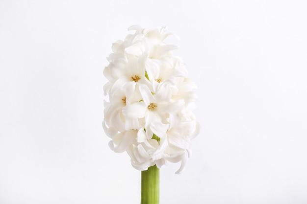 Cabeza de flor blanca aislada