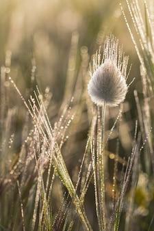 Cabeza de flor madurada cubierta de rocío de lagurus ovatus, cola de liebre