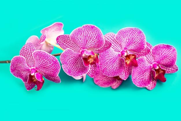 Cabeza de flor de orquídea suave hermosa en la pared azul.