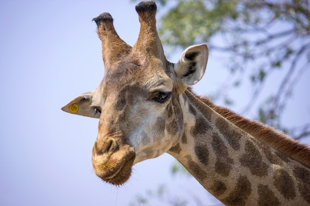 Cabeza de jirafa en el zoológico nacional, tailandia