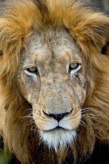 Cabeza de león - panthera leo en estado salvaje