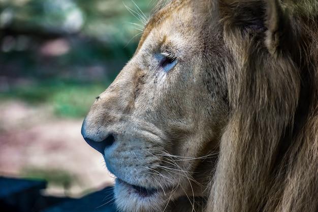 La cabeza de león, primer plano
