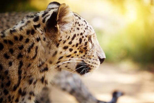 Cabeza de leopardo de cerca