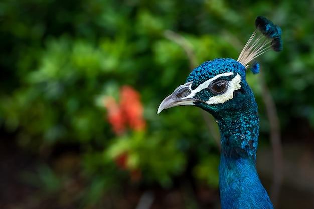 La cabeza del pavo real en toda la cara en el jardín.