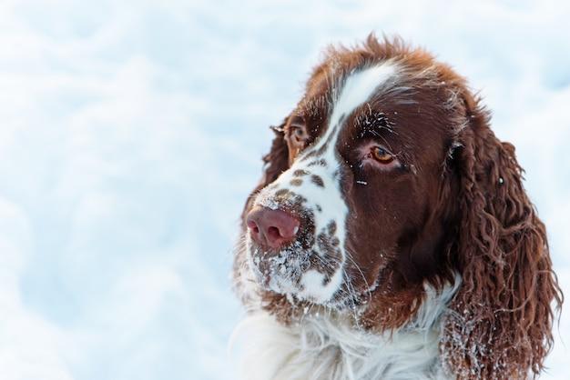 La cabeza del perro es el springer spaniel inglés, en la nieve.