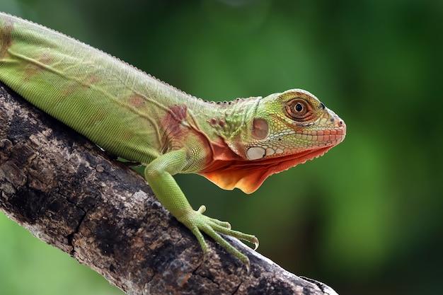 Cabeza de primer plano de iguana roja hermosa en madera