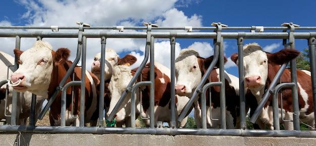 Cabezas de vaca en tierras de cultivo en verano, vista panorámica