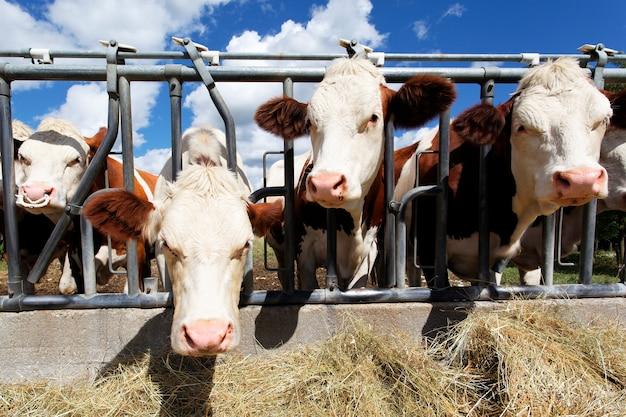Cabezas de vaca en tierras de cultivo en verano