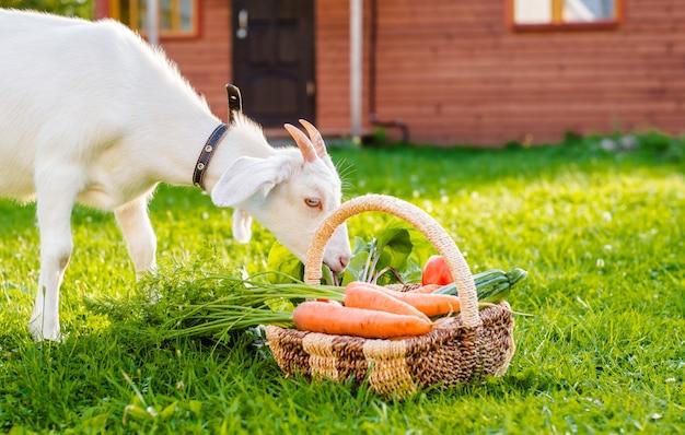 La cabra blanca mastica verduras de la granja en casa de pueblo al aire libre. el concepto de alimentación saludable.