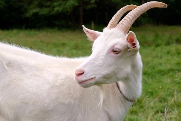 Cabra blanca en prado de hierba verde