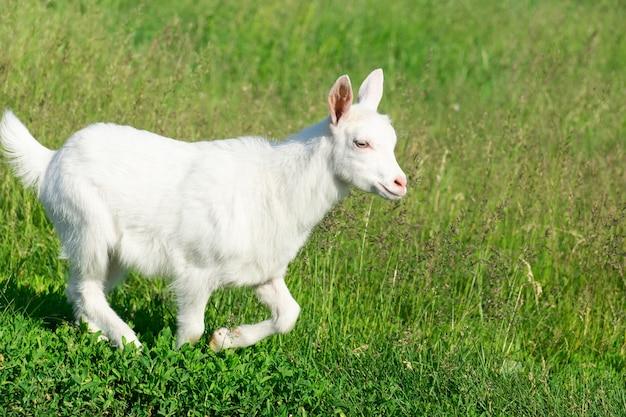 Cabra en un campo de trigo