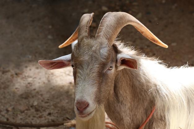 Cabra de cuerno largo