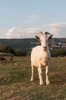 Cabra con cuernos de pie en el campo