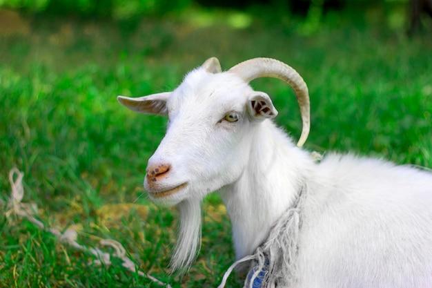 La cabra doméstica pasta en el prado.