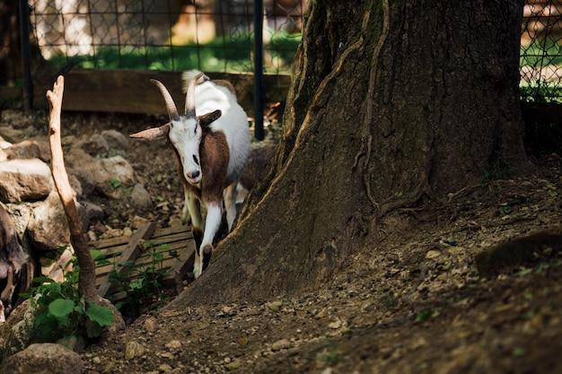 Cabra de la granja del primer cerca del árbol