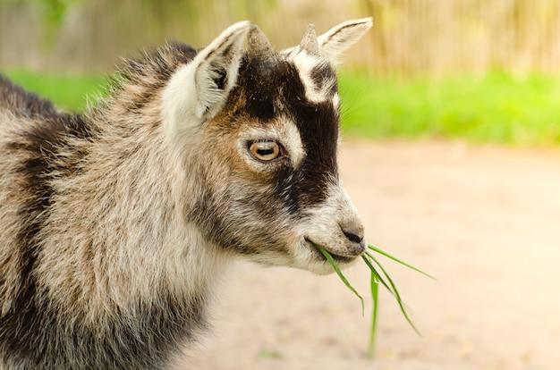 Cabra gris comiendo pasto verde en el pasto
