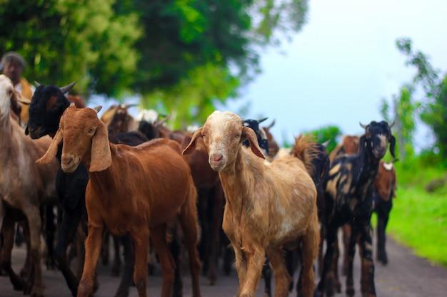 Cabra india en el campo