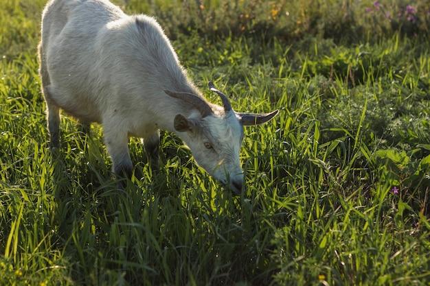 Cabra madura en la granja comiendo hierba